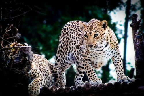 Leopard Hill Camp Jawai Rajasthan photo review